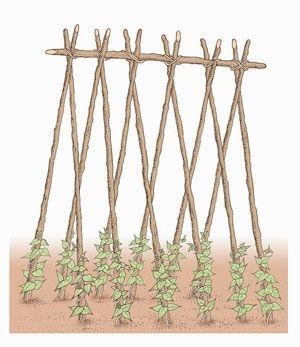 Pole Bean Trellisbeans Trellis Trellis Ideas Bean