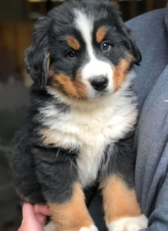Good Breeders In Joy Berners Bernese Mountain Dog Puppy Pictures Dogs