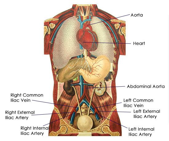 Common Iliac Arteries And Veins Arteries Arteries And Veins Abdominal Aorta