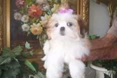 Shih Tzu Puppies For Sale Breeder Imperials Teacup
