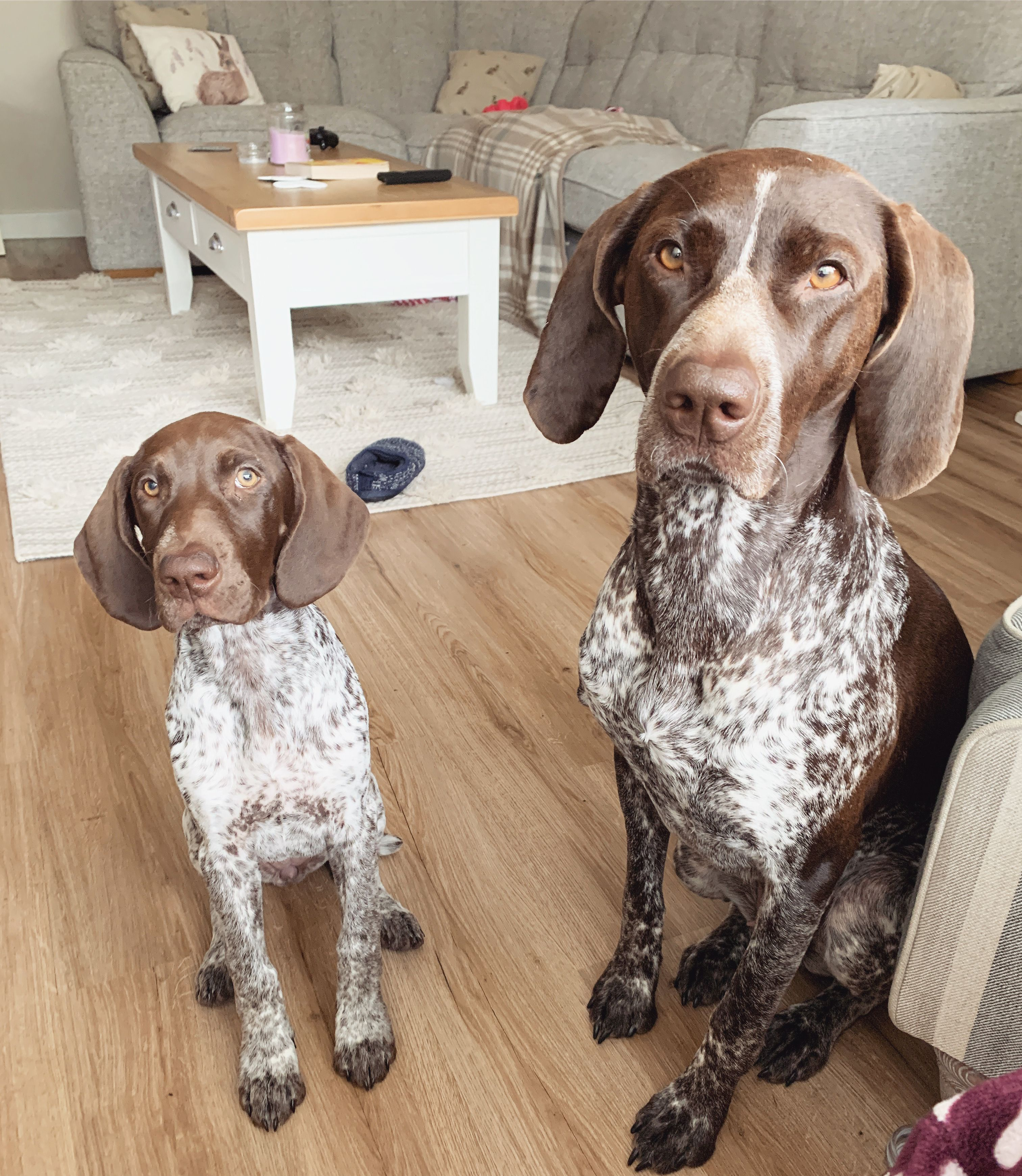 Short Haired German Pointer Puppies For Sale