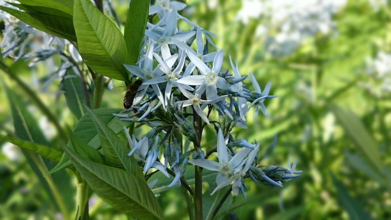 Growing amsonia from seed isnt difficult but it requires