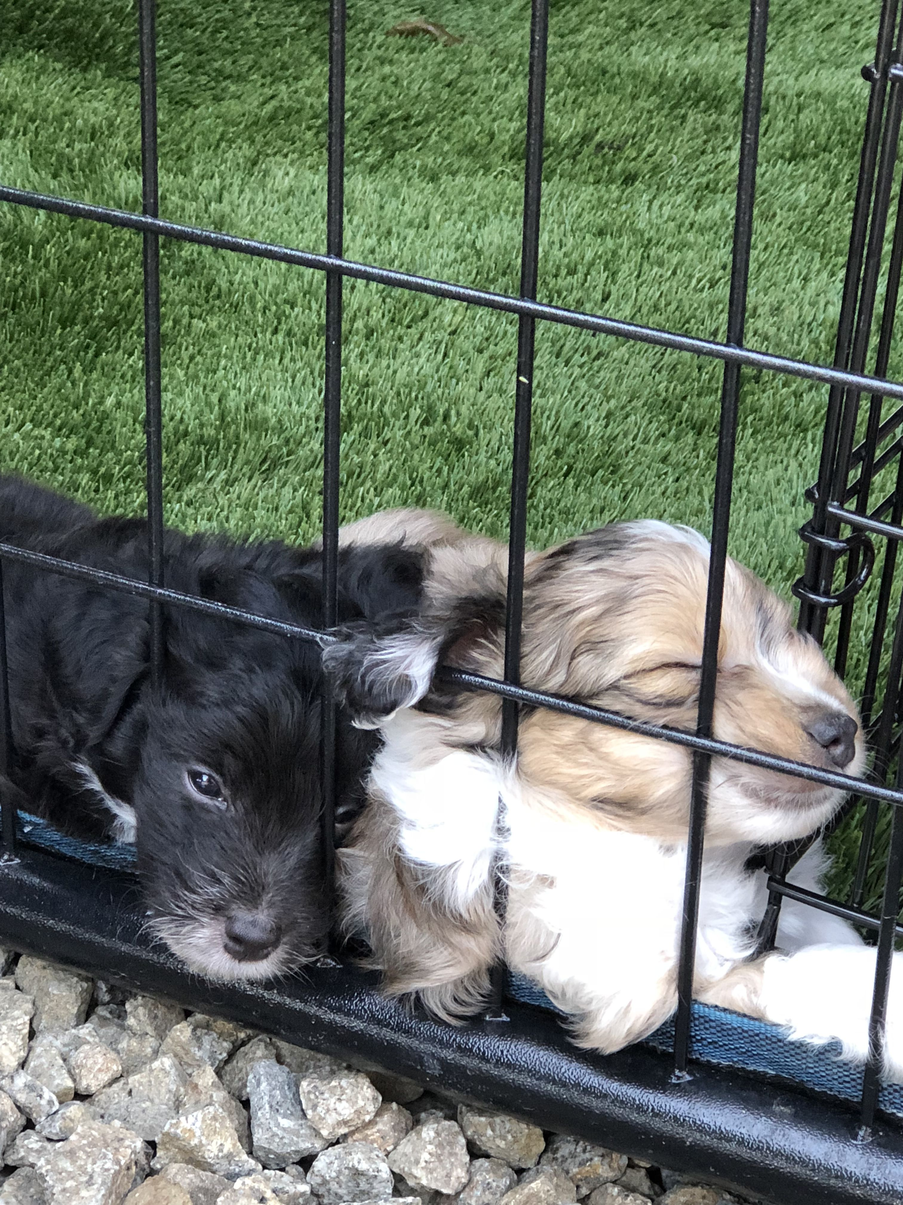 Aussiedoodle Puppies Puppies For Sale Puppies Dogs