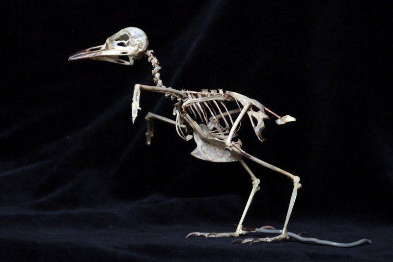 скелеты птиц фото как инфраструктура вблизи