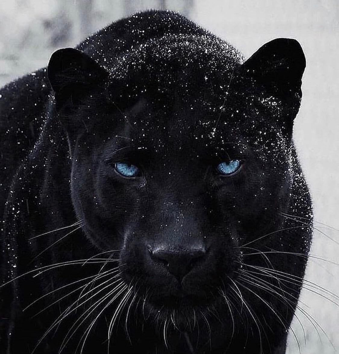 Black Panther In The Snow Natureisfuckinglit Animals Animals Beautiful Majestic Animals