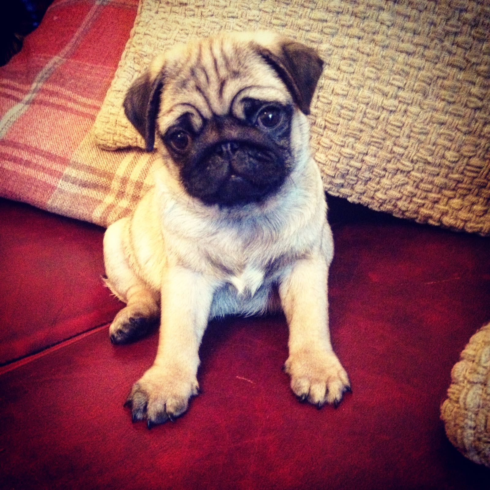 Captain The Pug Puppy Christmas Surprise With Images Pug Puppy