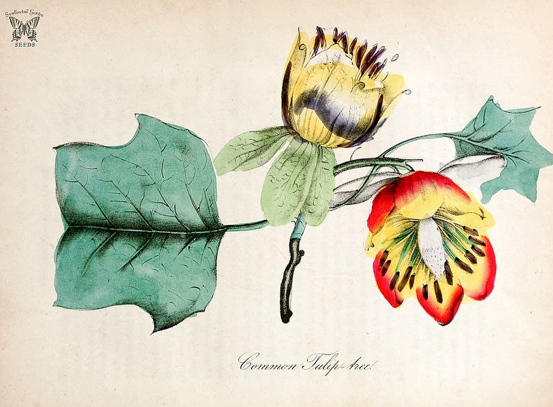 Tulip tree. Liriodendron tulipifera. The American flora vol. 3 (1855)   by Swallowtail Garden Seeds