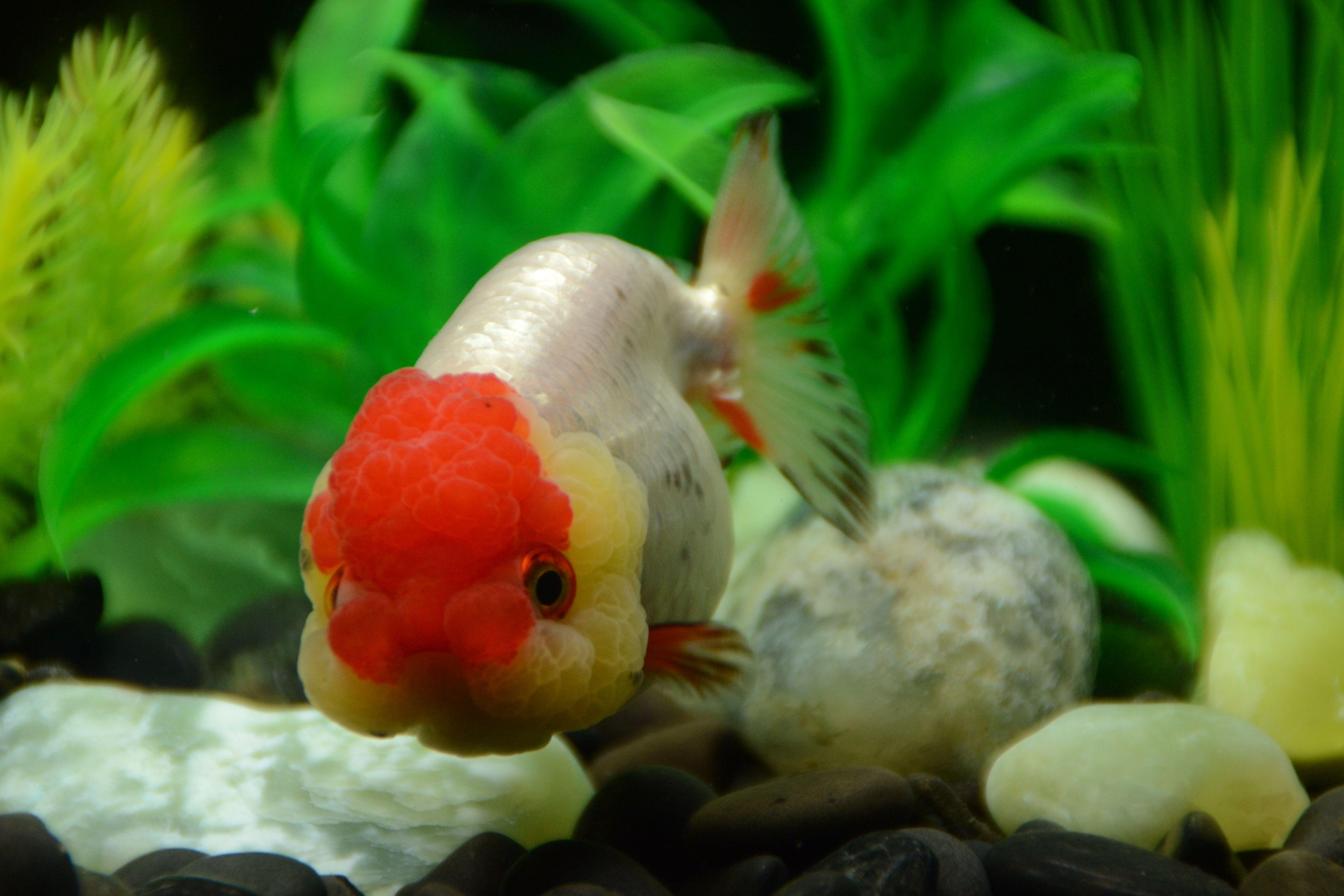 Red Cap Ranchu Goldfish Cute Little Fish Buygoldfishonline Com Buy Goldfish Goldfish Ryukin Goldfish