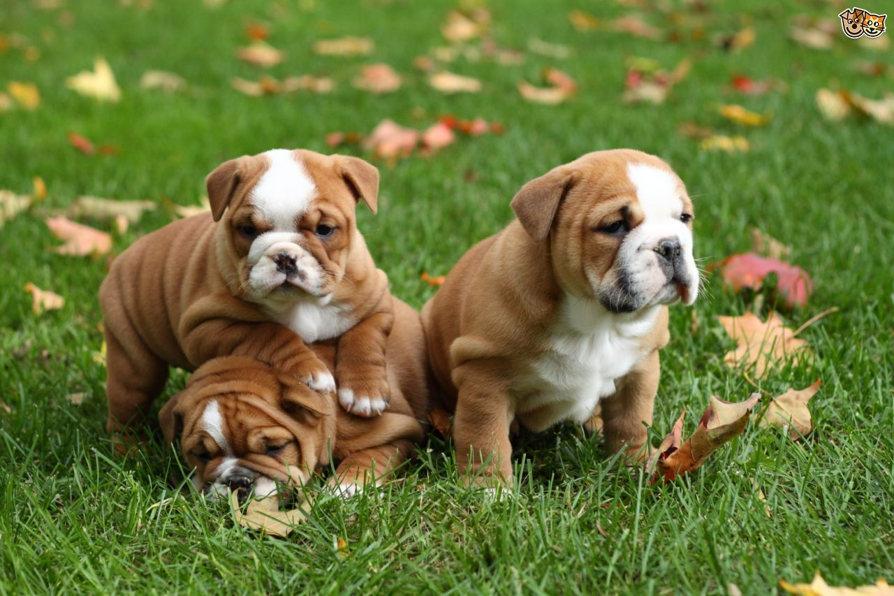 How To Find Out The Temperament Of A Puppy Within A Litter Pets4homes Bulldog Puppies Bulldog Puppies Funny Bulldog Breeds