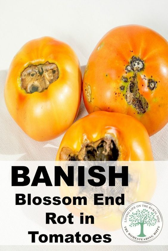 End Rot in Tomatoes-How To Prevent It Blossom end rot can be the most frustrating gardening problem to deal with.  Banish it BEFORE it begins in your tomatoes!Blossom end rot can be the most frustrating gardening problem to deal with.  Banish it BEFORE it begins in your tomatoes!