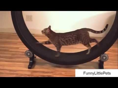 Funny Video Cat Fails cat exercise video Hilarious