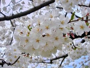 Artikel Bunga Sakura Vas Bunga Sakura Bunga Gambar Bunga