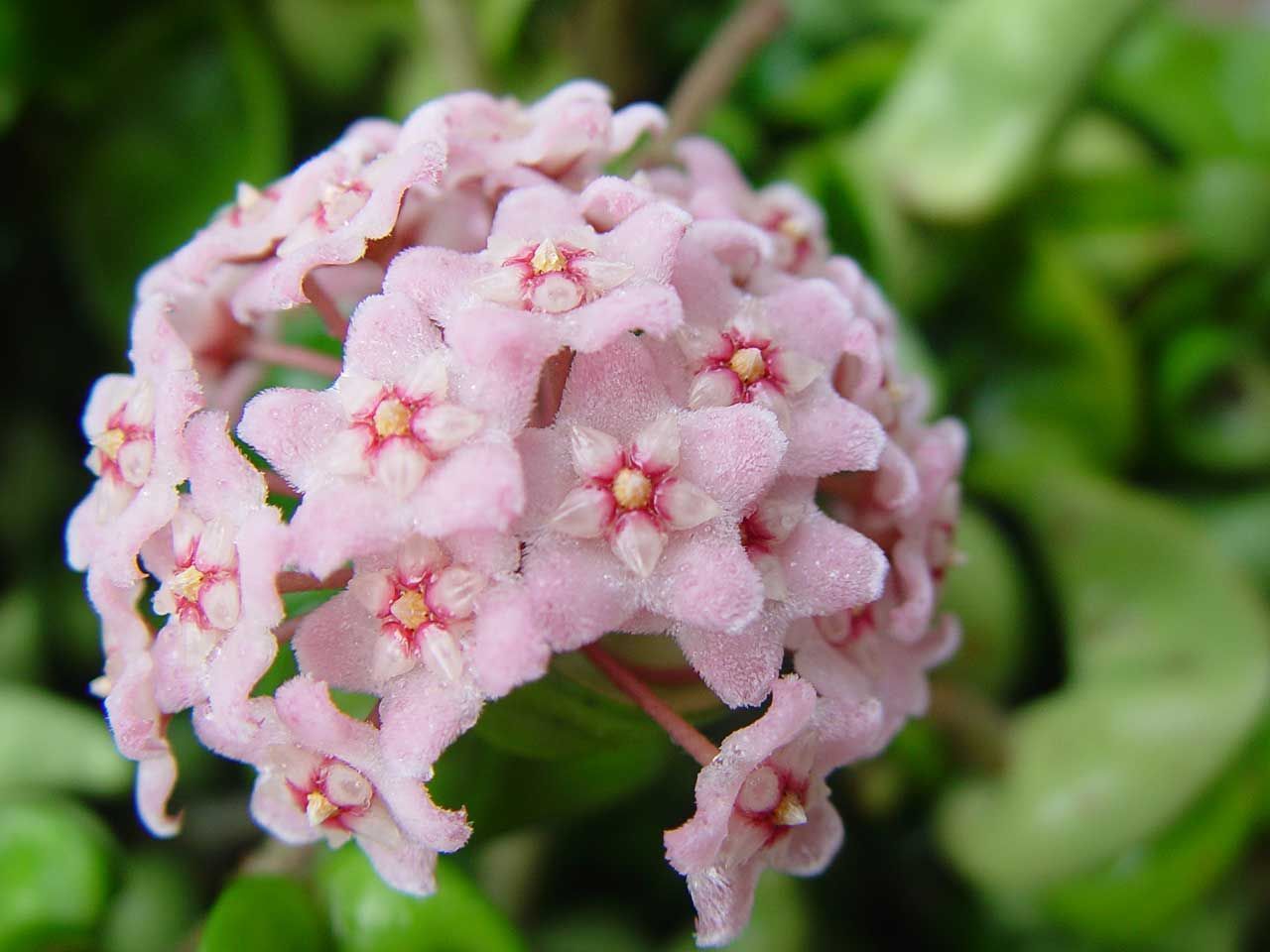 Small star shaped flowers flower shop near me flower shop elderflower power rooted food notice tiny star shaped flowers this sambucus nigra nbsp from europe has larger clusters white star flower images flower mightylinksfo
