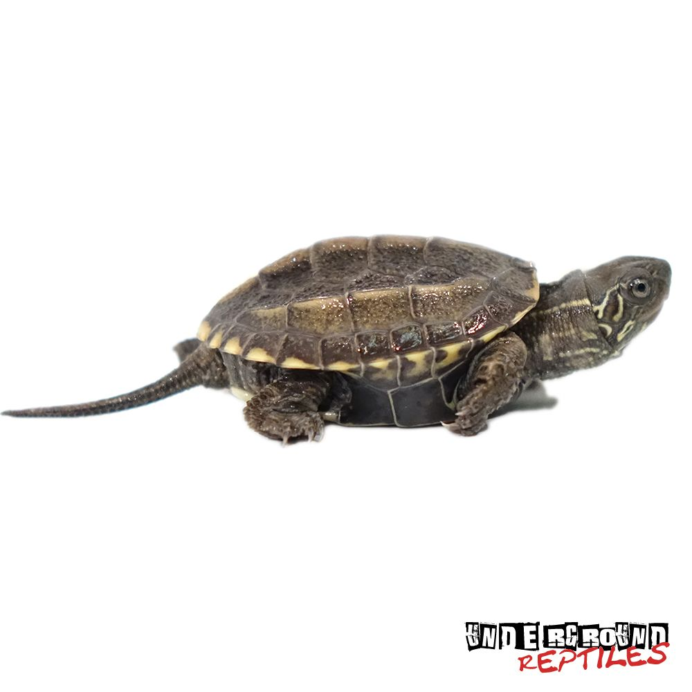 Baby Reeves Turtle Underground Reptiles Turtle Turtles For Sale
