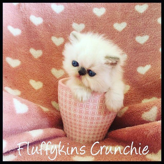 Fluffykins Crunchie Chocolate Bicolour Point Persian Kitten Breeds Cute Animals Himalayan Cat