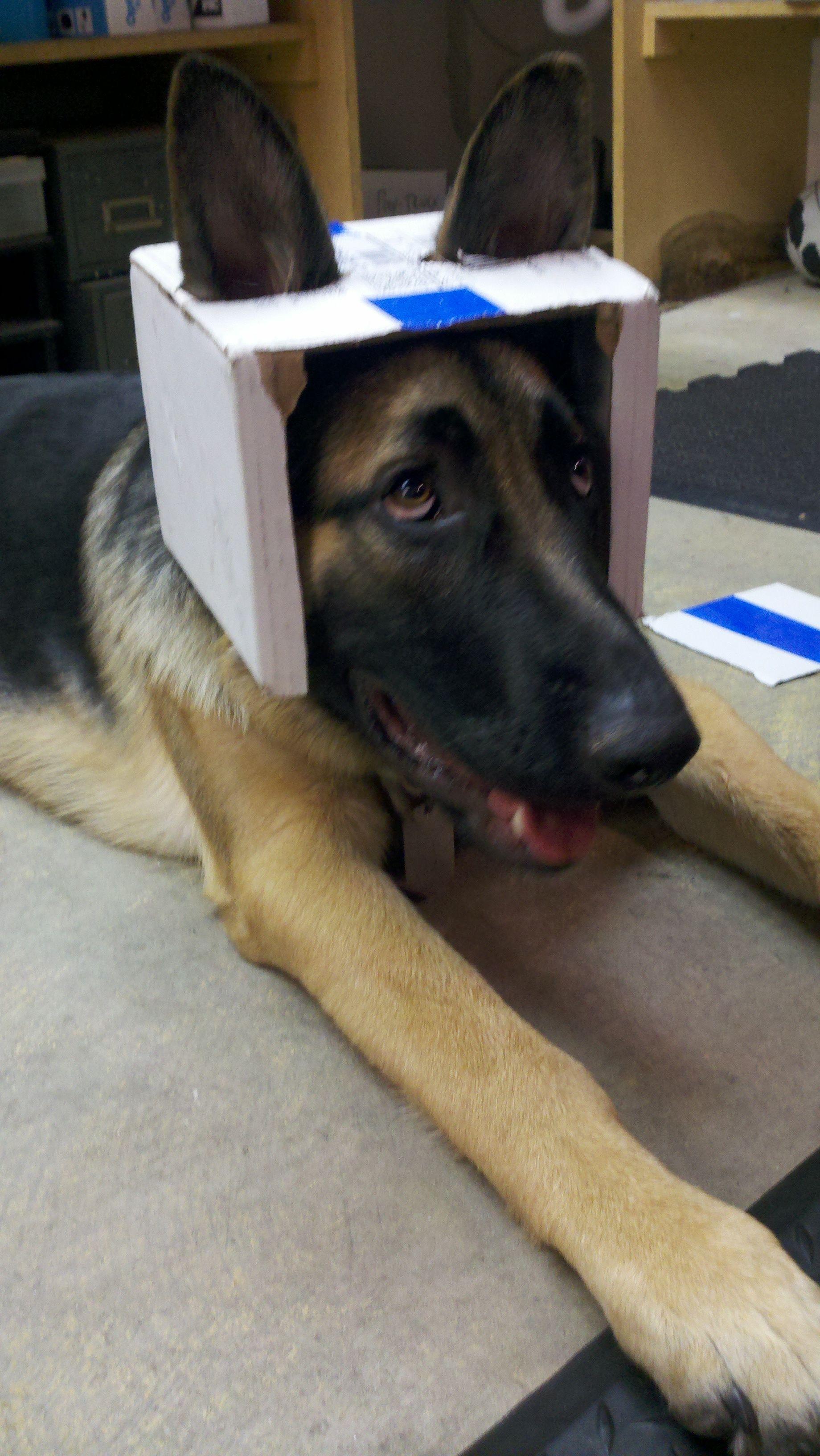 German Shepherd Space Pilot Gsd Shepherd Dog