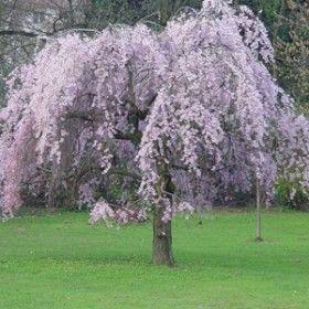 Weeping Higan Cherry Prunus Subhirtella Pendula Weeping Higan Cherry Features Double Pink Flowers In Tree Seeds Spring Flowering Trees Flowering Trees