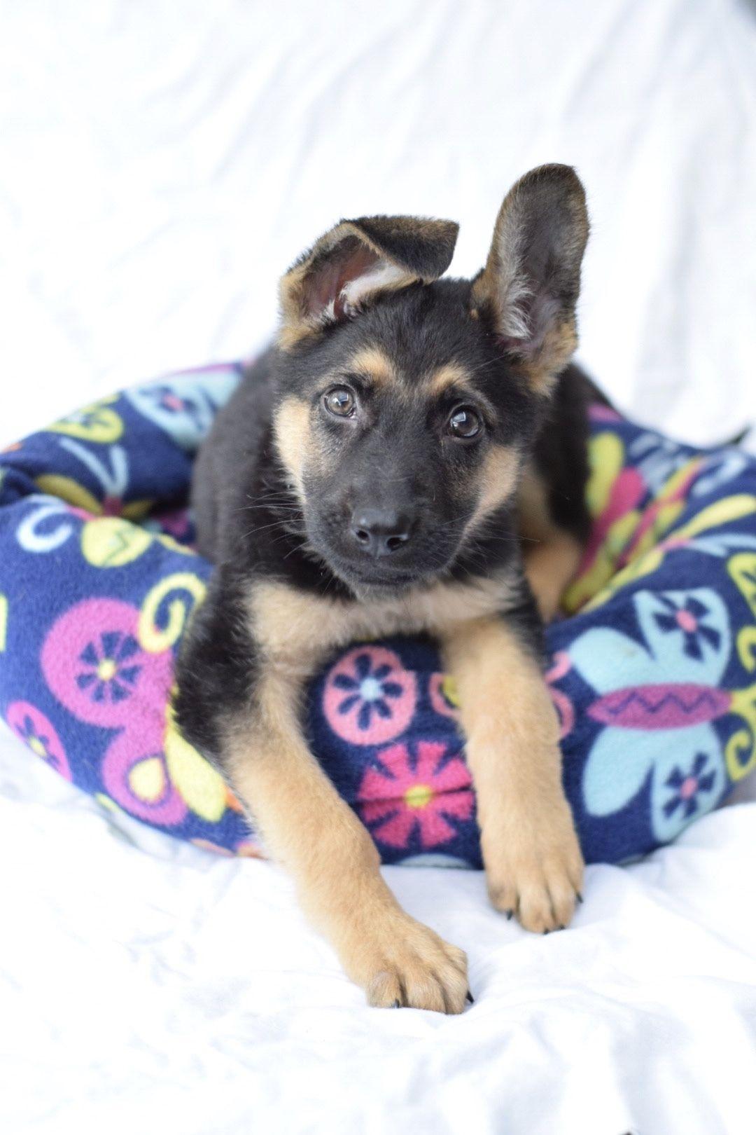 Adopt Phoenix On Schaferhunde Hunde Und Schaefer