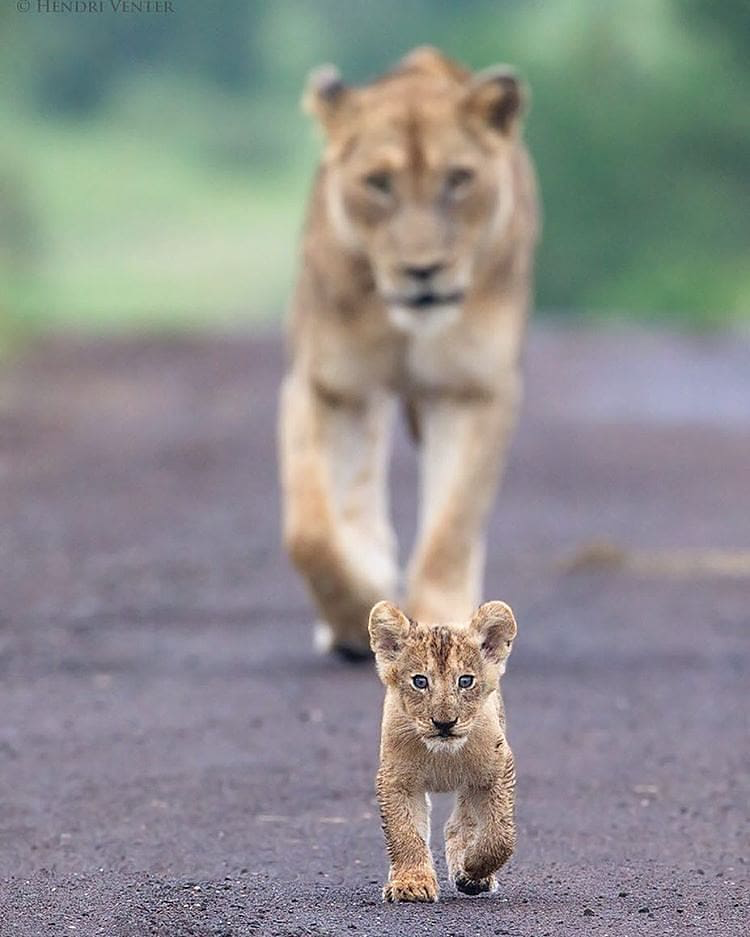 Planet Earth On Instagram Photo By Hendriventer Future Leader Kruger National Park Wild Nature Wildlife Afr Animals Wildlife Animals Cute Animals