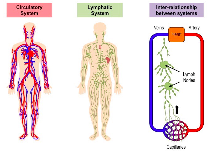 relationship between digestive system and circulatory
