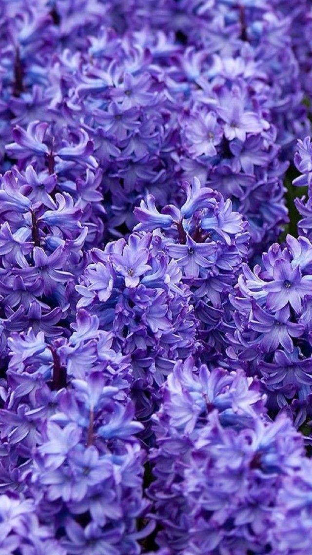 Hyacinth Wallpapers Wallpaper 1920×1200 Hyacinth