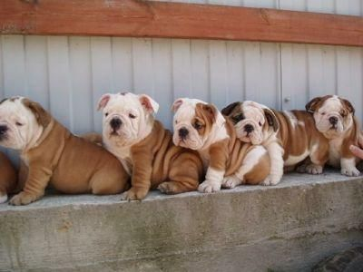 Bulldog pups all in a row.