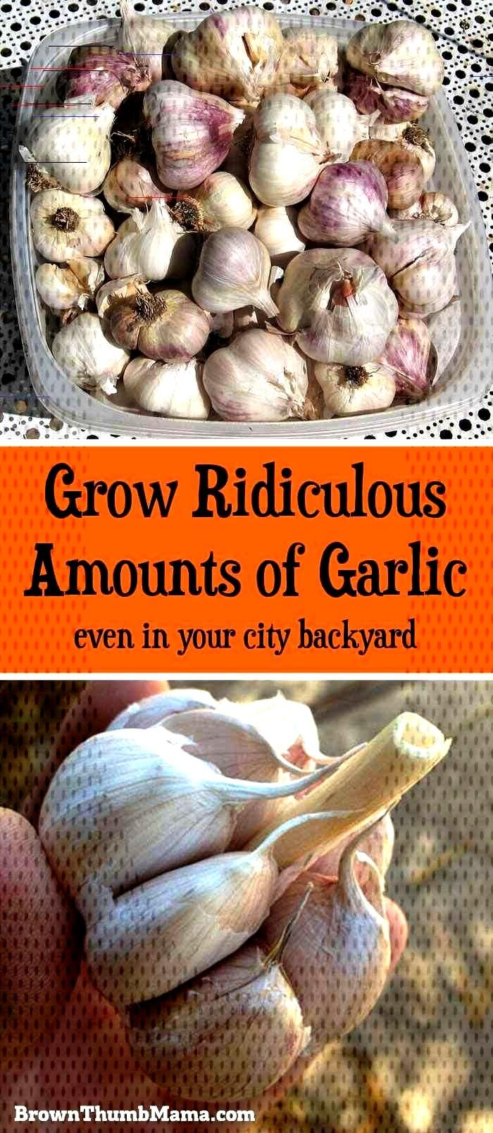 Grow Ridiculous Amounts of Garlic (even in your city backyard) Garlic is SO easy to grow. All you n