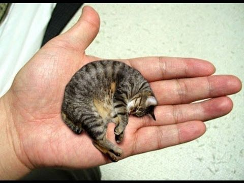cat - Smallest Cat In The World Guinness 2014