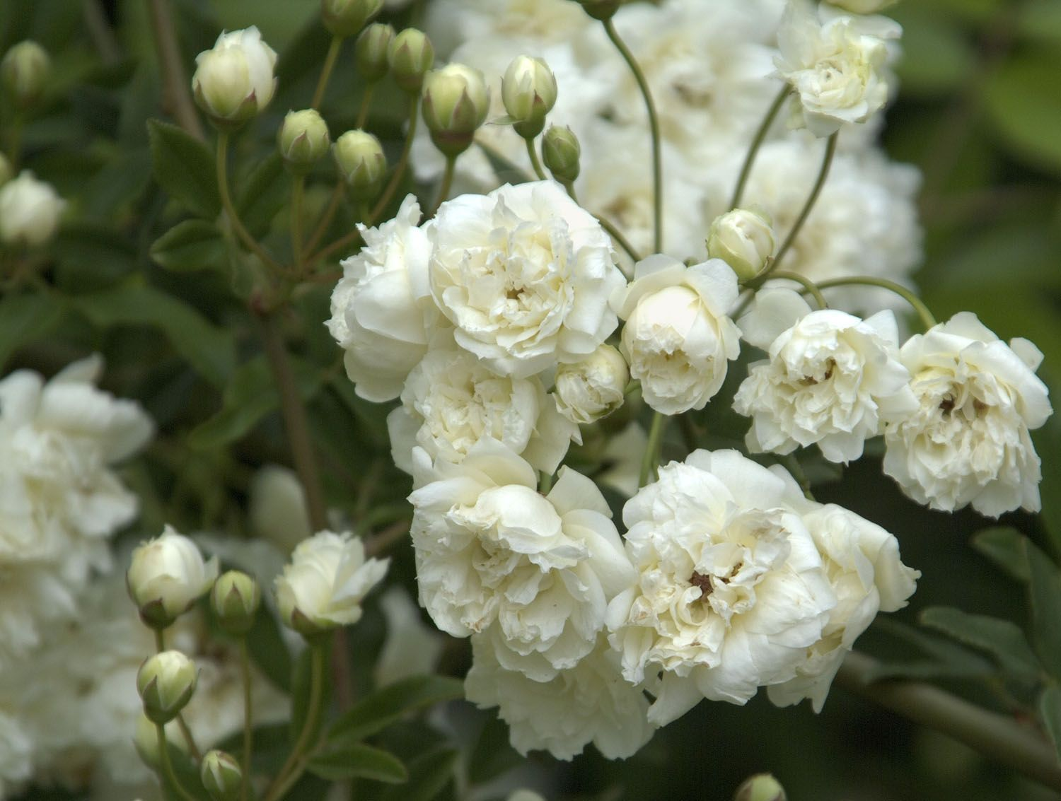 White Lady Banks Rose: thornless! A vigorous climber with rich ...