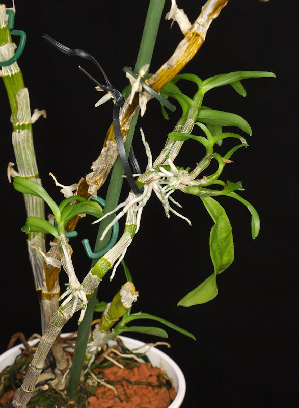 re dendrobium nobile hybriden 2 huonekasvit houseplants pinterest houseplants. Black Bedroom Furniture Sets. Home Design Ideas