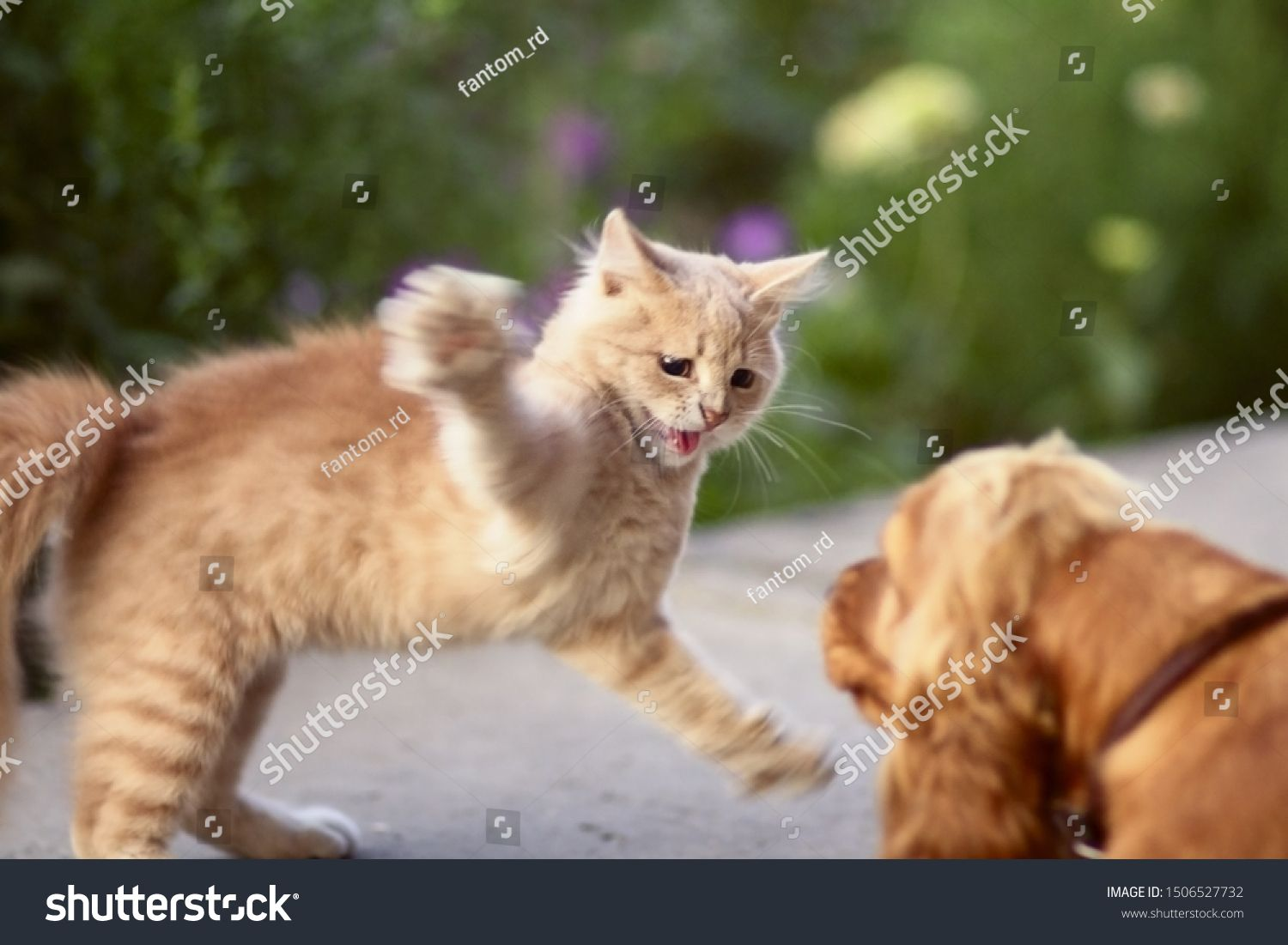 Frightened Cat Defends Itself And Attacking The Ginger Kitten Arched His Back In Fear Of Dog Animal Life Pets Walking Outd Fear Of Dogs Cats Wildlife Animals