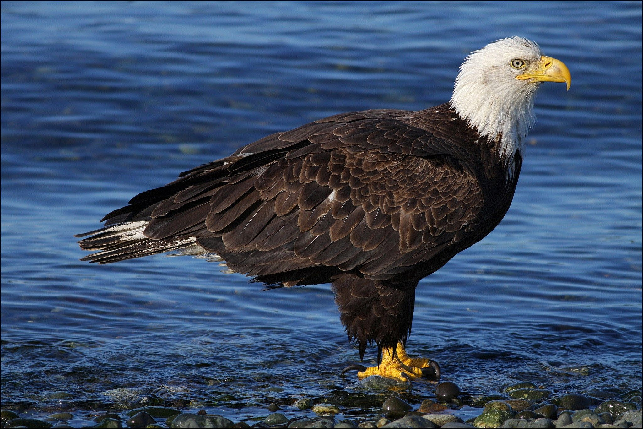 Somers chester cool bald eagle wallpaper 2048x1366 px somers chester cool bald eagle wallpaper 2048x1366 px biocorpaavc