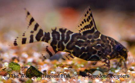 Synodontis Eupterus Featherfin Squeaker Cat Aquarium Fish Tropical Fish Aquarium Catfish