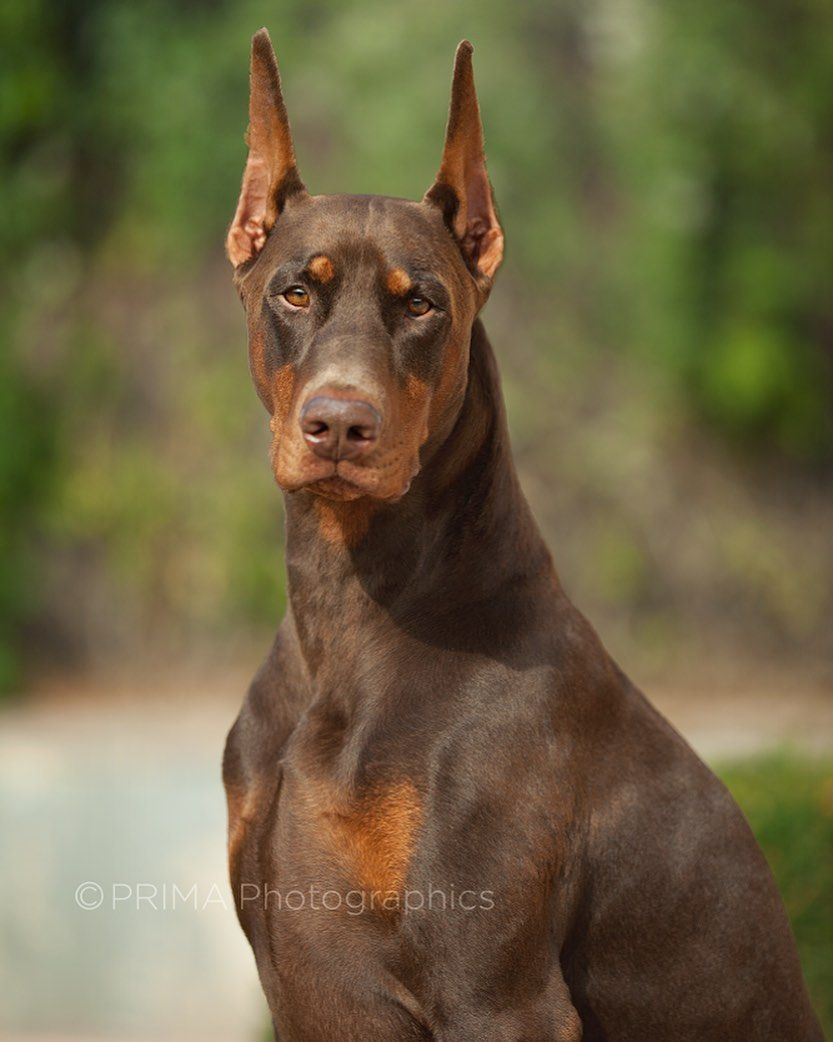 Doberman Pinscher Dog Information Pictures Appearance Facts