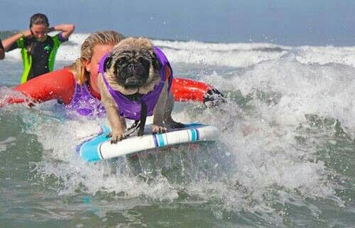 That is one unhappy looking pug but pretty cool that it can surf