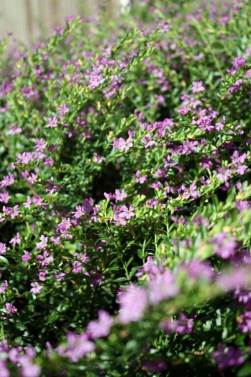 Spanish Mexican Heather Heather Plant Flower Garden Plants