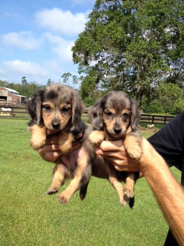 Pin By Www Personallypaws Com On We Love Miniature Dachshunds Dapple Dachshund Dachshund Breed Clever Dog