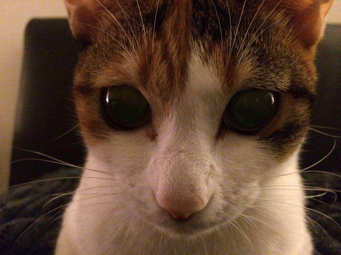 "Japanese cat ""mike-neko"""