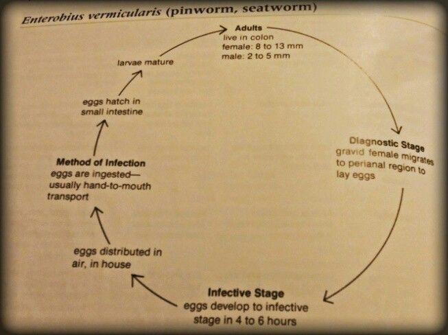 Enterobius Vermicularis Life Cycle Enterobius Vermicularis Pinworms