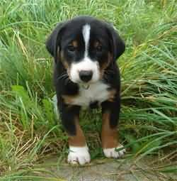 Appenzeller Sennenhund Puppy Google Search Mountain Dogs Silly Animals Puppies