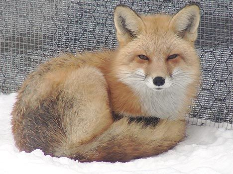 Red Fox Reference Photos Taxidermy Fox Fox In Snow Red Fox