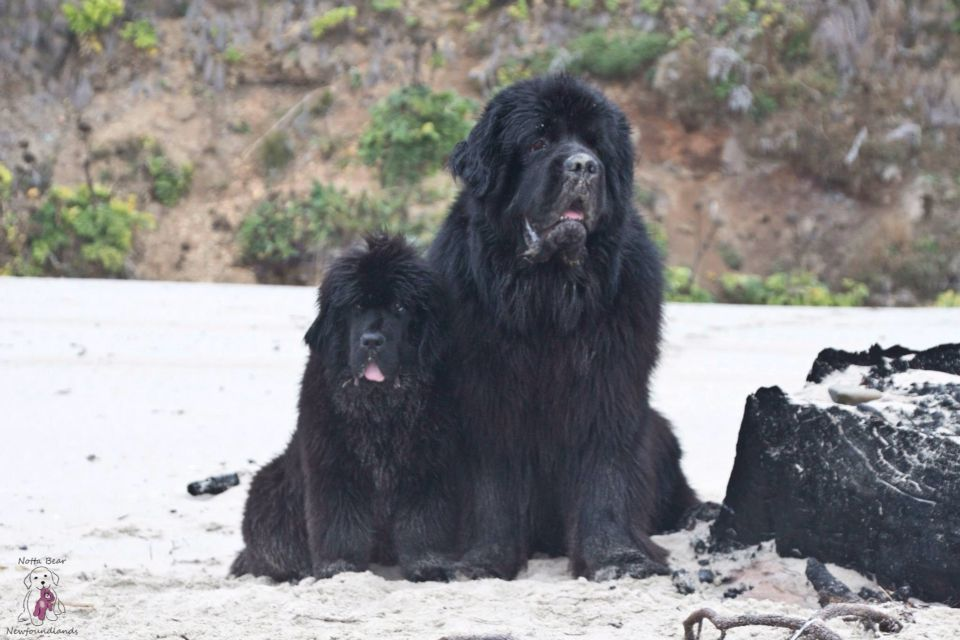 Notta Bear Newfoundlands Shadrach And Meshack On The Beach In Pacific City Oregon