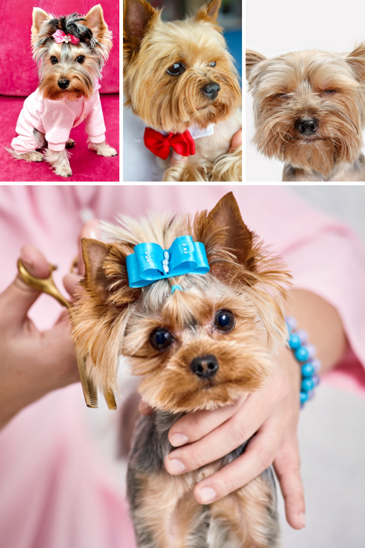 Terrier Puppies Yorkshire Terriers In 2020 Terrier Puppies Yorkshire Terrier Puppies Yorkshire Terrier Dog