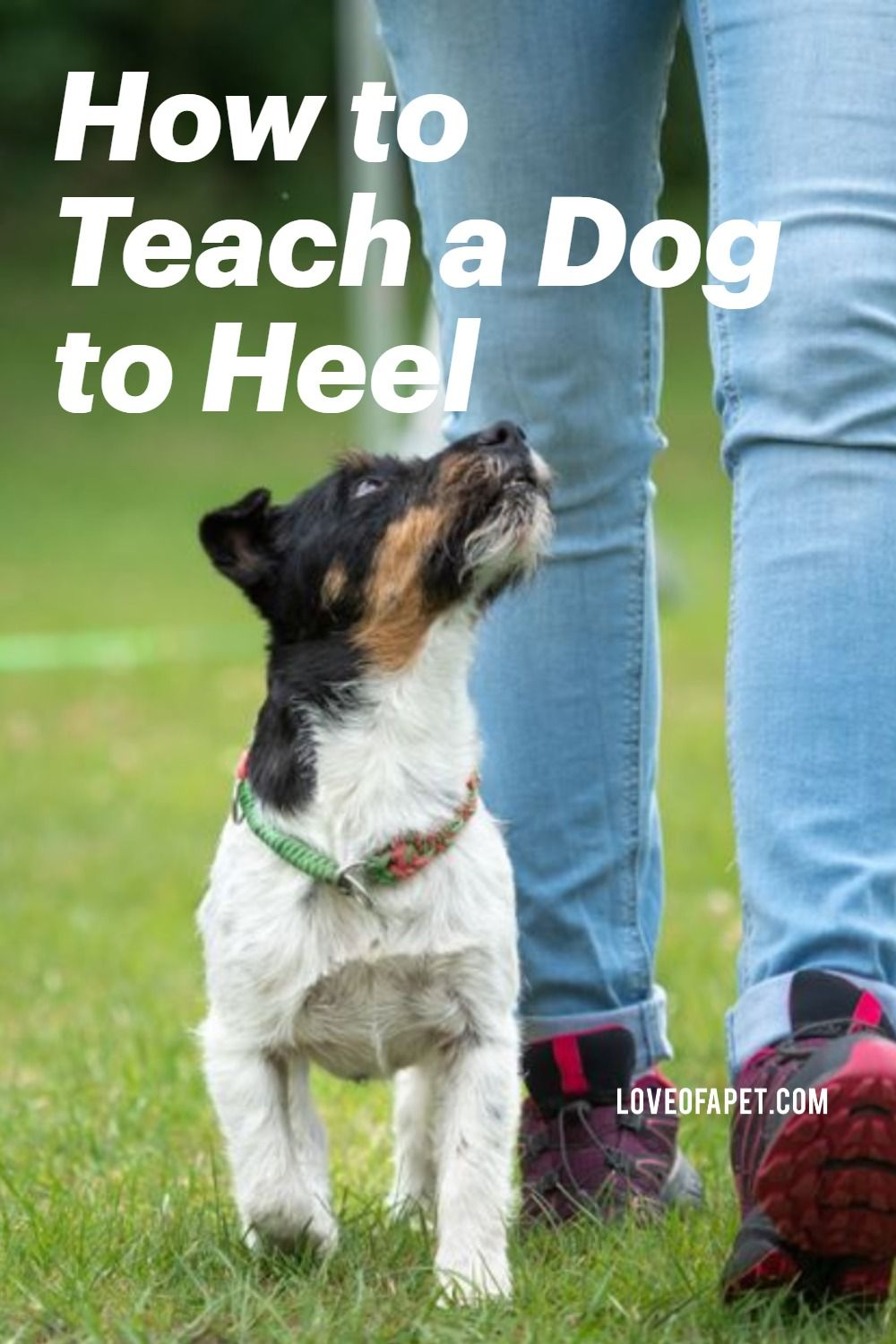 How to teach a dog to heel perfectly dogs training your