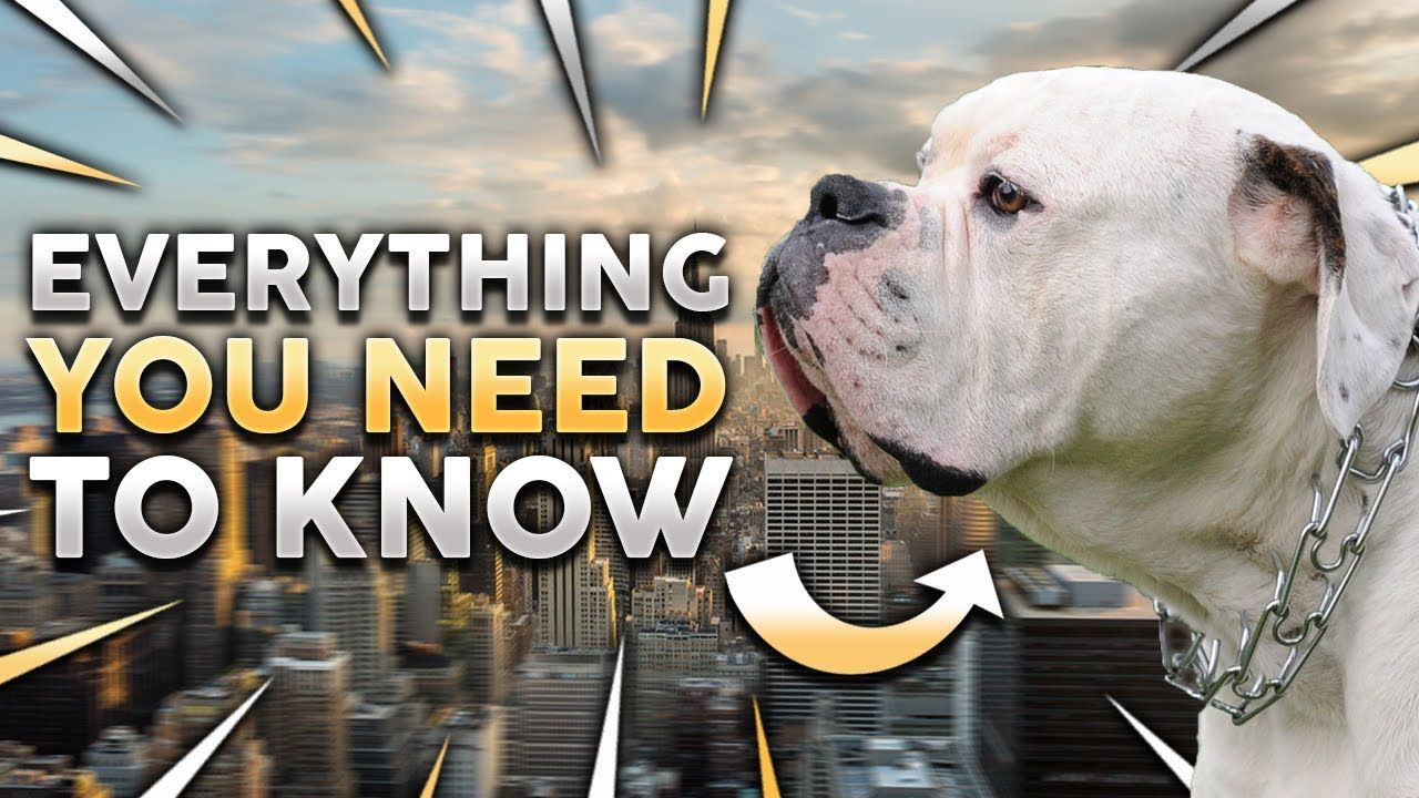 Discover Top Dog Toys For Your Lovely American Bulldog Cheap