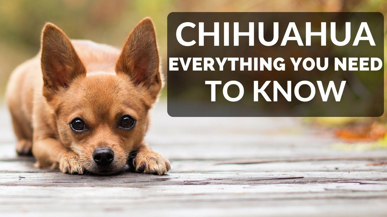 Chihuahua 101 Everything You Need To Know About Owning A