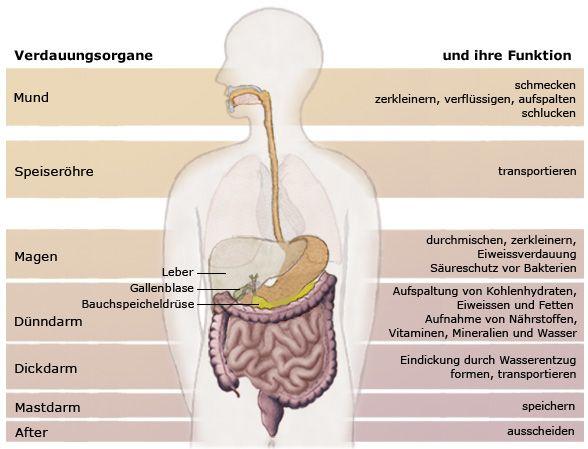 Funktion des Darms | Der Darm: Aufbau & Funktion | Darmkrebs.de ...