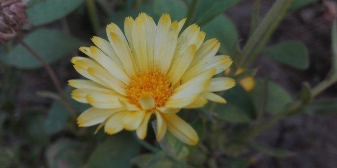 زهرة عباد الشمس تصوير عصام علي طفرة جوز Plants