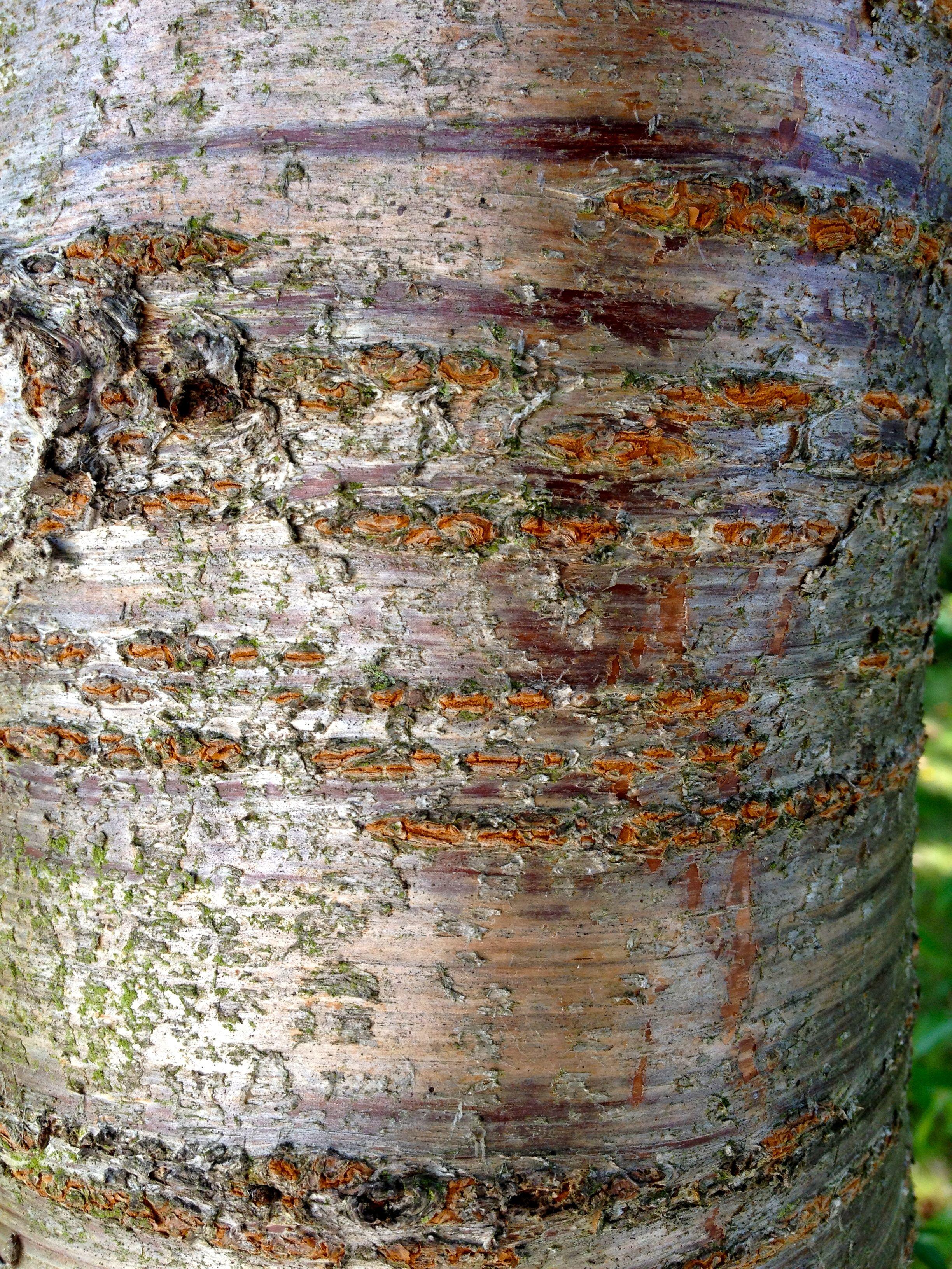 Prunus Avium Bird Cherry Bark Cherry Bark Abstract Tree Identification