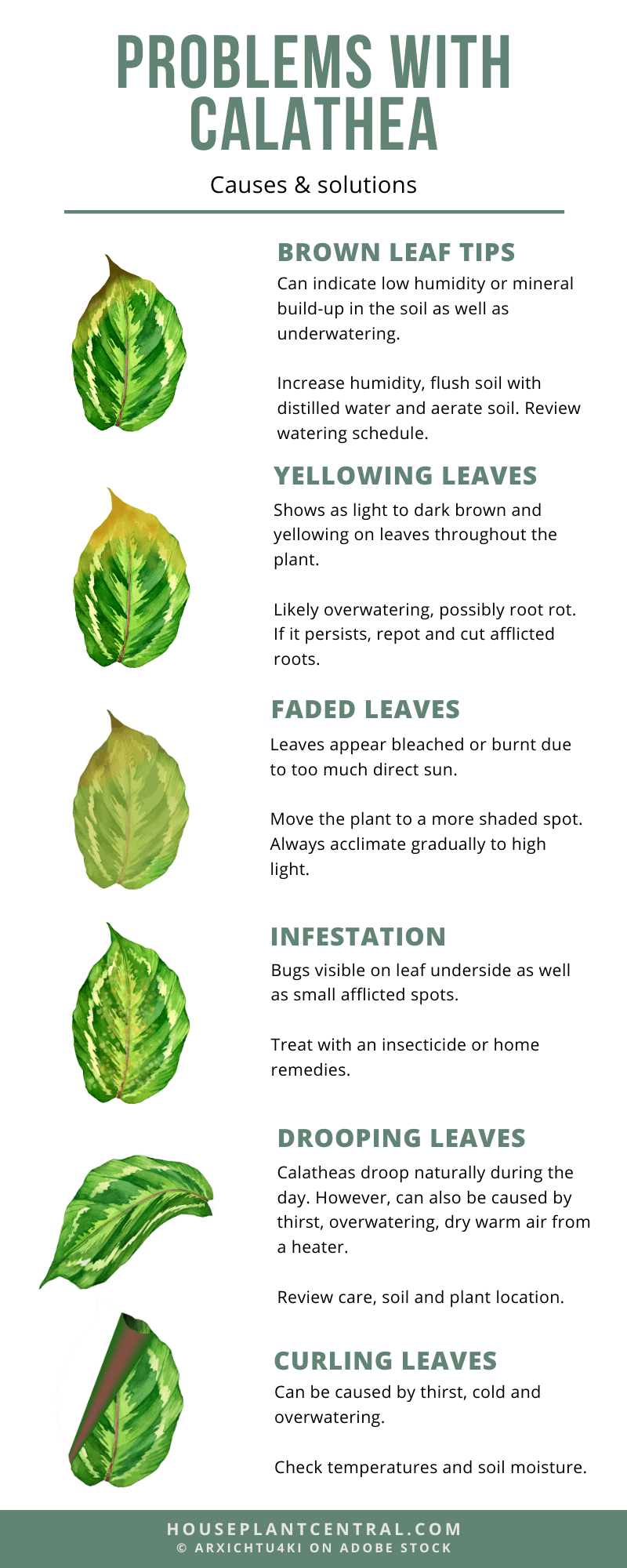 Problems With Calathea Yellow Leaves Curling Drooping And More Houseplant Central Calathea Low Light House Plants Plant Problems